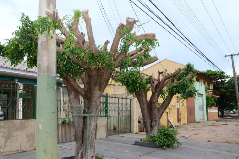 Na rua da Pátria, árvores da espécie fícus foram mutiladas. Estas plantas não são recomendadas para serem utilizadas em arborização urbana.