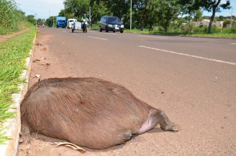 Capivara é morta em avenida na Capital (Foto: Vanderlei Aparecido)