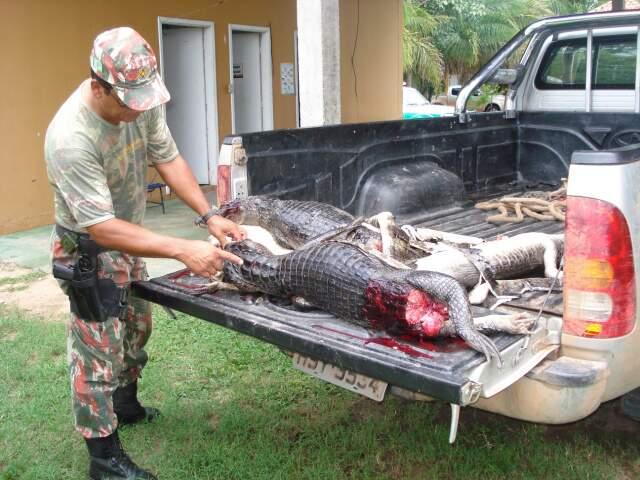 Animais aprendidos estavam na carroceria de camioneta. (Foto: Divulgação PMA)