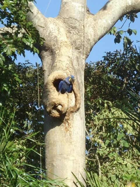Arara azul em ninho em Miranda. (Foto: Divulgação)