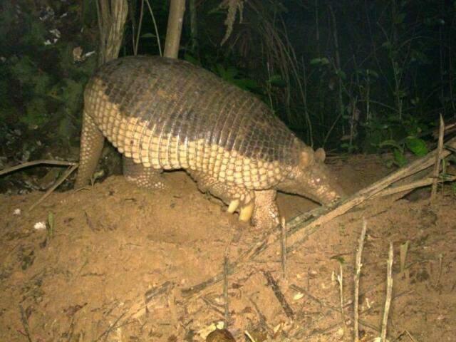 Tatu-canastra é fotografada pela primeira vez na Reserva Cisalpina, em Brasilândia. (Foto: Arquivo IPÊ)