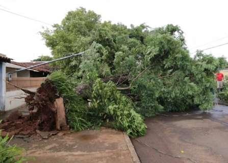 Ventania derruba árvore de 15 metros e bloqueia rua no Bonança