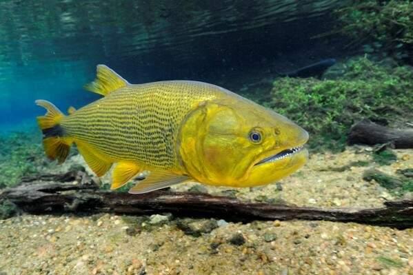 Dourado é considerado peixe esportivo e tem preferência dos pescadores. (Foto: Divulgação)