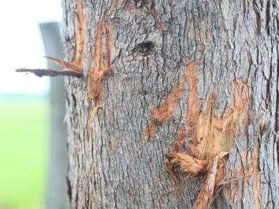 Além das pegadas, foram encontradas marcas em troncos de árvores. (Foto: Fernando Antunes)