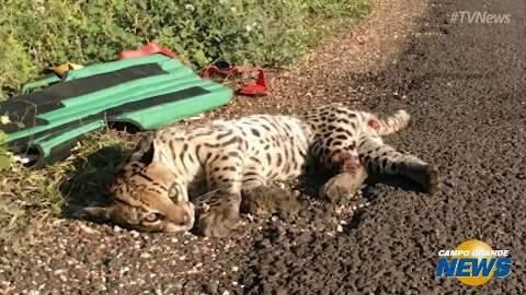 Policiais encontram jaguatirica atropelada e resgatam com a ajuda de fazendeiros