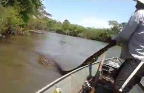 Vídeo mostra perseguição a sucuri de 5 metros que engoliu capivara