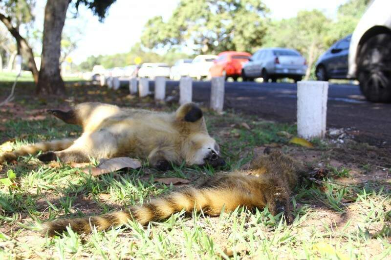 Quatis foram encontrados mortos no Parque dos Poderes. (Foto: Marcos Ermínio)