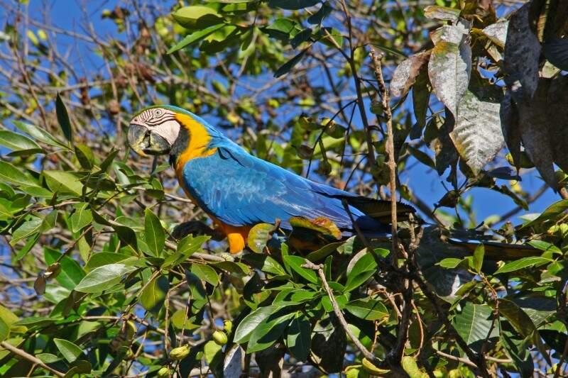 A arara também é uma ave muito procurada pelos traficantes. (Foto: Marcos Ermínio)