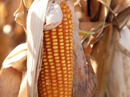 Colheita do milho avança em 3,4% da área plantada em Mato Grosso do Sul