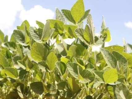 Estiagem ameaça supersafra de 10 milhões de toneladas de soja em MS