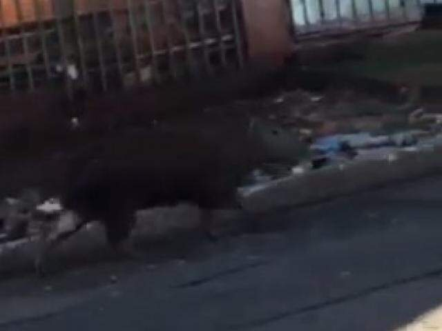 Animal foi avistado caminhando pelas ruas do Guanandi; PMA recomenda cuidado ao trafegar na região. (Foto Direto das Ruas)