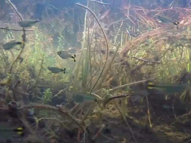 Águas no Payaguás do Xarayés, transparentes a partir do Caronal, após serem filtradas pela vegetação. (Foto: Instituto Agwa/Reprodução)