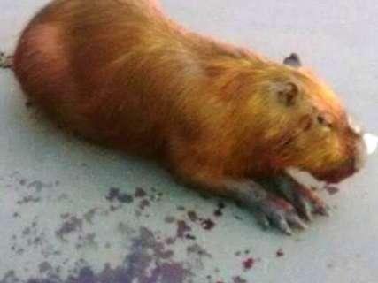 Risco aos humanos e acidentes podem retirar animais da Lagoa Maior
