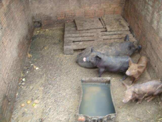 Os porcos foram apreendidos e ficaram sob guarda do autuado, até decisão judicial e do órgão ambiental.