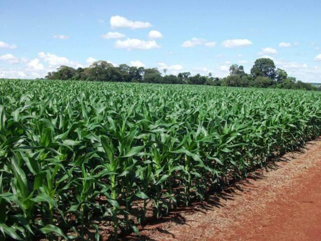 Plantio de milho em MS (Foto: Divulgação/Famasul)