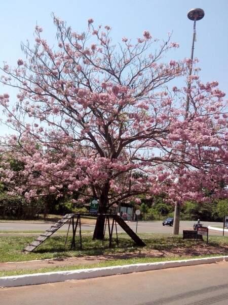 O ipê rosa é uma das variedades de cores com maior incidência no cerrado.(Foto:Repórter News)