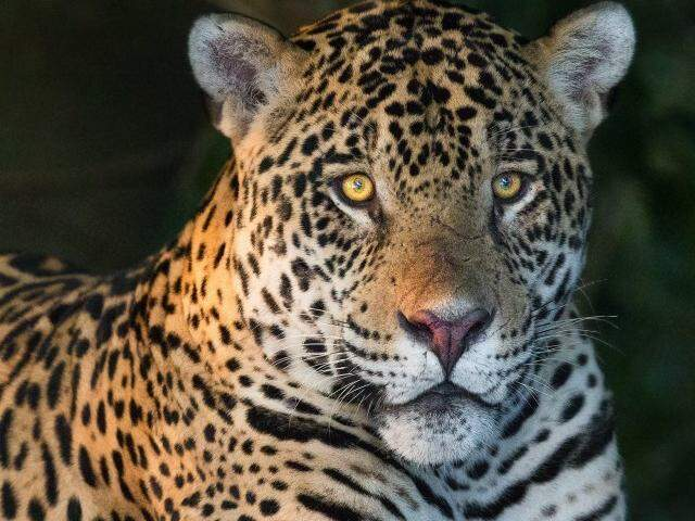 Beleza nos mínimos detalhes do maior felino das Américas.(Foto: Mogens Trolle)
