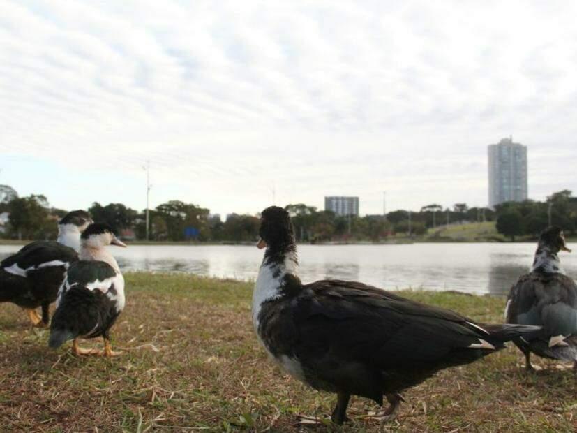 Patos ás margens do lago no Parque das Nações Indígenas, na tarde fria desta terça-feira (18). (Foto: Marcos Ermínio)