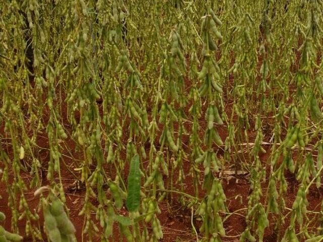 VBP da soja estima crescimento de R$ 300 milhões em MS neste ano (Foto: Elci Holsback)