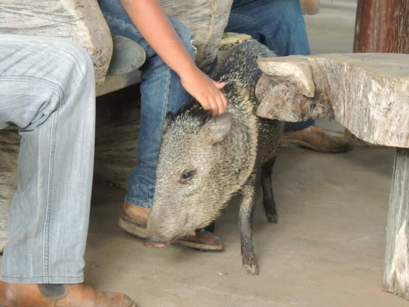 """Porco do mato é """"manso"""" em fazenda de ecoturismo. (Foto: divulgação)"""
