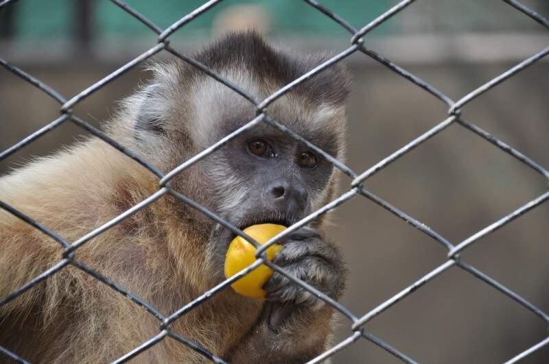 Macacos fazem parte dos animais que serão soltos em breve. (Foto: Marcelo Calazans)