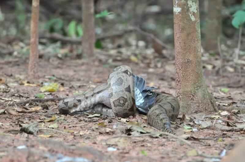 Cobra foi flagrada matando e engolindo ave