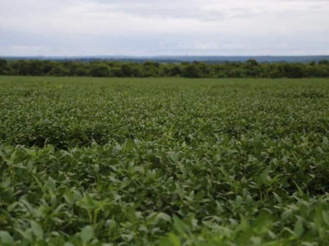 Lavoura de soja em Mato Grosso do Sul (Foto: Marcos Ermínio)