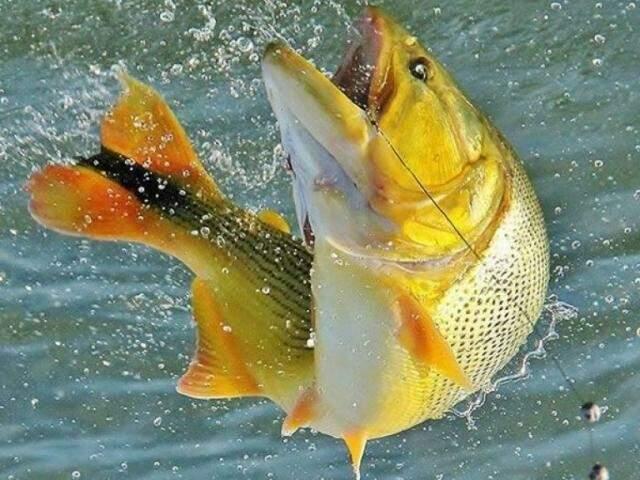 Dourado, considerado o troféu das águas doces (Foto: Divulgação/Arquivo).
