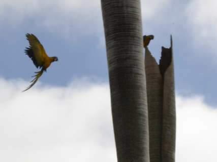 Instituto Arara Azul inicia trabalho de monitoramento de ninhos