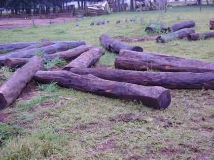 """Palanques de madeira da espécie """"Guaritá""""."""