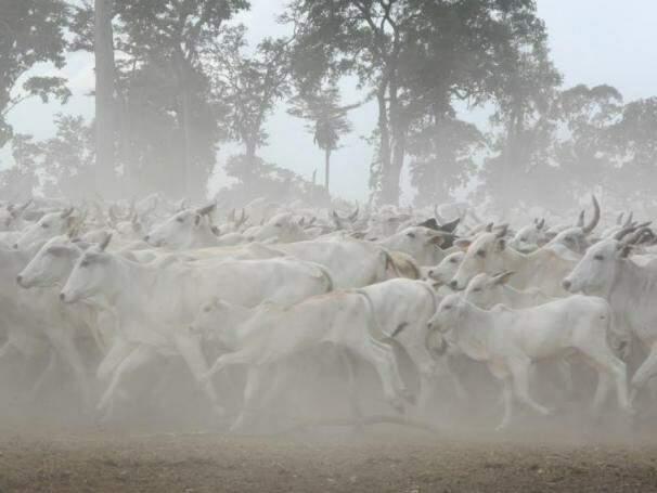 Rebanho em fazenda no interior do Estado. (Foto: Divulgação Embrapa/Arquivo).