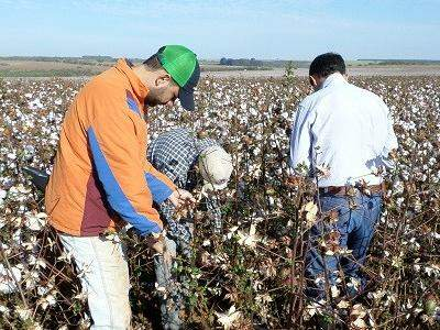 O objetivo da pesquisa é estudar essa estratégia para o melhoramento da produção do algodão (Foto: Divulgação/Fundect)