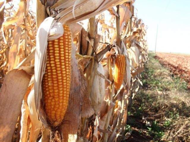 Milho de MS deve ficar ainda mais barato com colheita em outros estados (Foto: Arquivo)