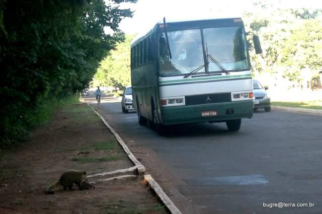 Quati arrasta filhote atropelado na avenida Desembartgador Leão neto do Carmo, no Parque dos Podres.