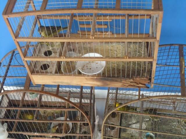 Canários eram criados ilegalmente em Três Lagoas (Foto: PMA/divulgação)