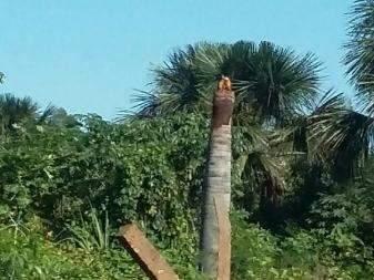 Casal de araras-canindé faz ninho em tronco e recebe cuidados de vizinhos