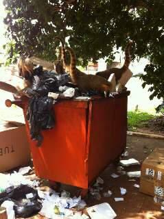 'Oportunistas', quatis fazem 'lanchinho' em lixeira no Parque dos Poderes