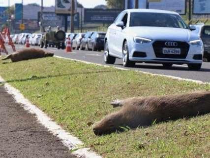 Depois de mês com 8 atropelamentos, capivaras surgem mortas em avenida