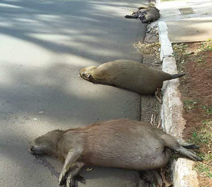 Em vias com movimentação de animais é preciso ter atenção redobrada. (Foto:Direto das Ruas)