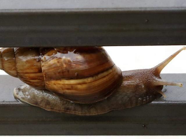 Caramujo entre as grades no portão de residência; bicho foi introduzido no país na década de 80 para ser comercializado como escargot. (Foto: Gerson Walber)