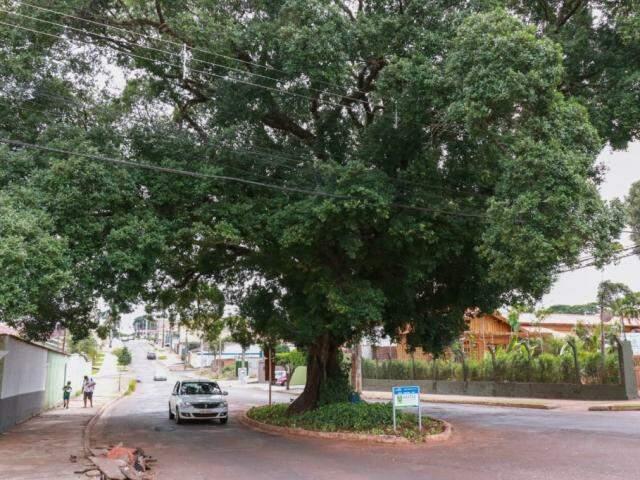 A Figueira está no meio da rua do Rosário e tem mais de dez metros (Foto: Henrique Kawaminami)