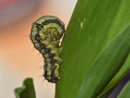 Ministério prorroga emergência relacionada à lagarta em lavouras