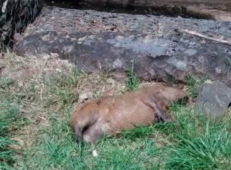 Há três dias mortas em avenida, agora capivara está próximo ao córrego. (Foto: Simão Nogueira)