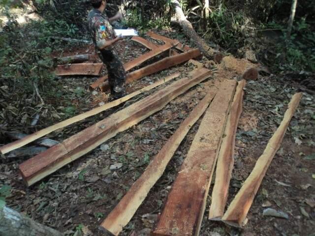 O autuado derrubou 13 árvores da espécie angico. (Foto: divulgação)