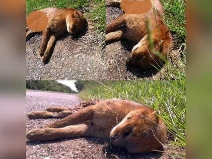 Felino raro é encontrado morto às margens em BR perto de Miranda