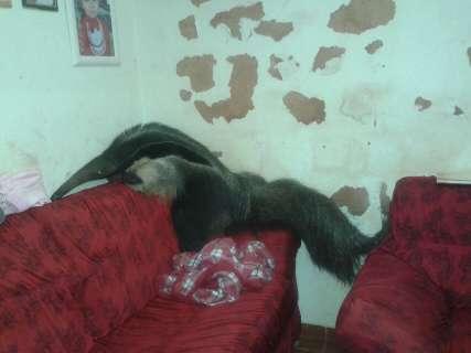 Tamanduá entra em casa, sobe no sofá e assusta moradores da Capital