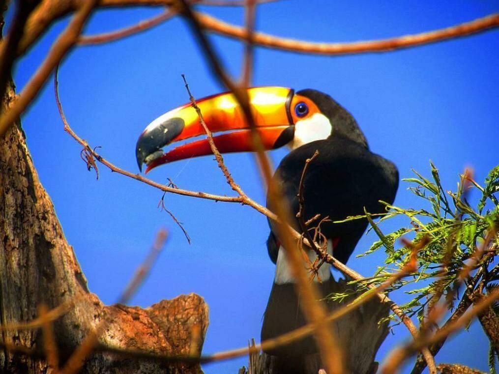 Tucano é facilmente avistado em área urbana de Campo Grande. (Foto: Gilson Rocha)