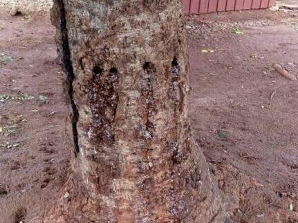 O veneno está sendo aplicado na árvore diariamente.  (Foto:Direto das Ruas)
