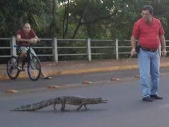 Jacaré passeando na Avenida Filinto Muller, em frente ao Lago do Amor. (Foto: Helton Verão)