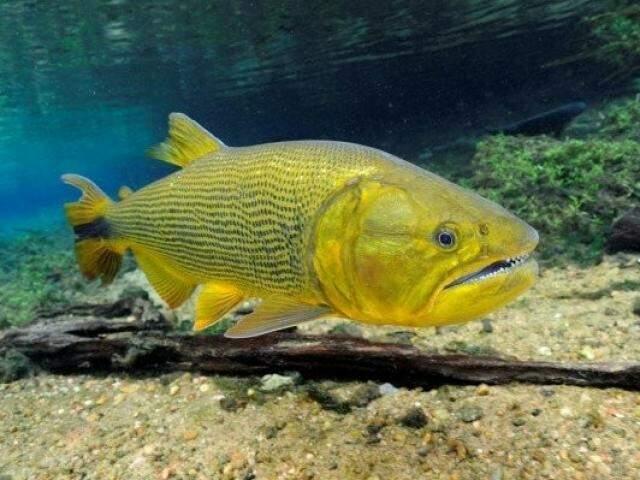 Para ambientalista, é notório a falta de dourado nos rios do Estado. (Foto: Divulgação)